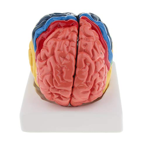 B Blesiya Life Size Colored Brain Model 2 Parts with Base Medical Science Anatomy ()