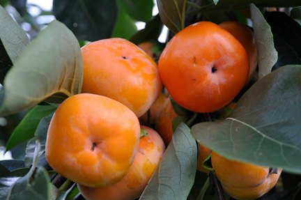 (Organic Heirloom 30 Seeds Asian Persimmon Tree Shrub Seeds Orange Huge Fruit Sweet Apple Taste Bulk Garden)