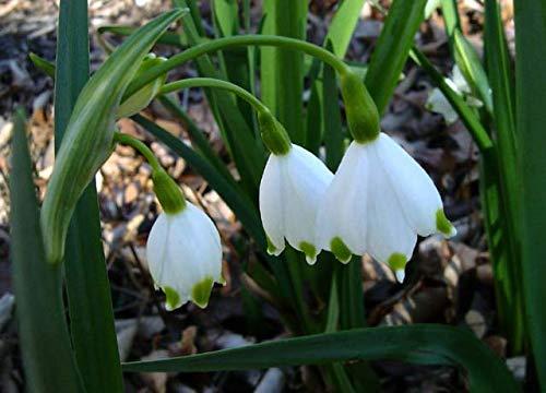 Snowdrops (15 Bulbs),Leucojum Gravetye Giant (Giant Snowflake) Fragrant Flowers