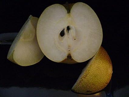 asian pear calleryana