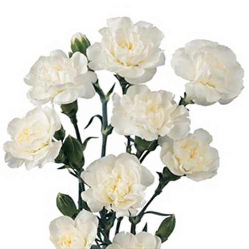 Farm2Door Wholesale Carnations: 100 Stems of White Mini Carnations from Colombia - Farm Direct Wholesale Fresh Flowers
