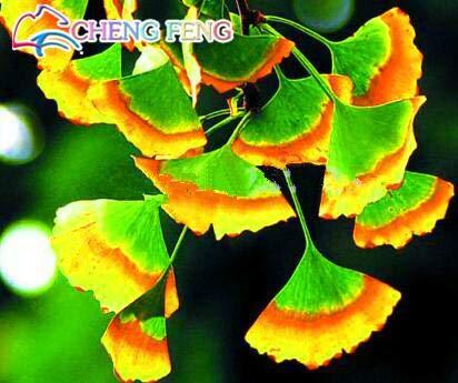 Green Seeds Co 5 Unids Raras Plantas De Ginkgo Arco Iris Hermosas