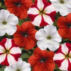 Hurrah Peppermint Stick Mix Petunia Flower Seed Pack 100 Stratisfied Seeds ()
