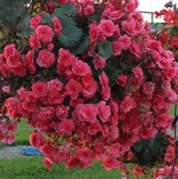 Double Hanging Basket Pink Begonia Bulb, Start, Root, SeedsbulbsPlants&More (Best Begonias For Hanging Baskets)