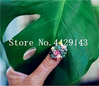 Pinkdose 200 pc Mini Kiwi, Pollice Kiwi Seedss, Bonsai Organic Heirloom Verdure Frutta Planta, Rare Pianta in Vaso per la casa Giardino: Misto