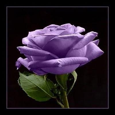 5 Purple Rose Rosa Bush Shrub Perennial Flower Seeds : Garden & Outdoor