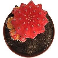 Gymnocalycium Cactus Injertado Color Rojo en Maceta Pequeña Cactus de Interior
