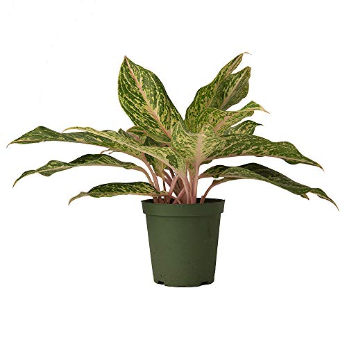 """AMERICAN PLANT EXCHANGE Aglonemia Chinese Evergreen Sparkling Sarah Live Plant, 6"""" Pot, Colorful Foliage Stunner"""