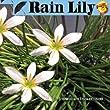 Rain Lily Live Aquatic Plant