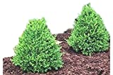 Green Mountain Boxwood - Lot of 10 Live Plants in Gallon Pots by DAS Farms
