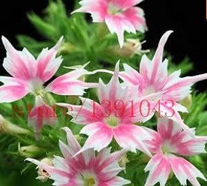 100 Seeds PHLOX TWINKLE STAR,Phlox Drummondii Cuspidata Flower Seeds rare flower seeds for home garden planting fast grow