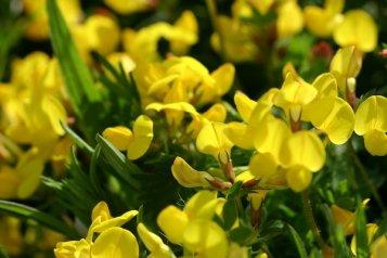 davids-garden-seeds-flower-birdsfoot-trefoil-s30069-yellow-500-open-pollinated-seeds