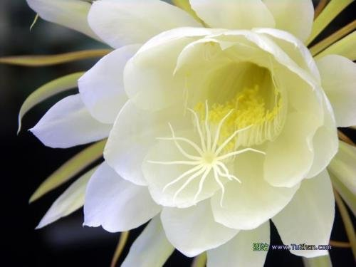 Queen of the Night Epiphyllum oxypetalum Live plant by epotsgroup