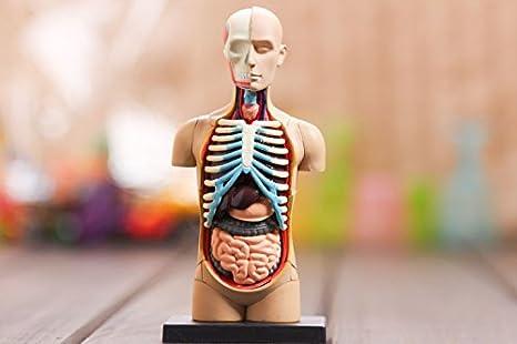 GENERIC small human torso Human Anatomy model Human / head ...