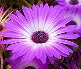 ICE Plant Purple Stardust Delosperma Floribunda 199+ Bulk Seeds uKE -667