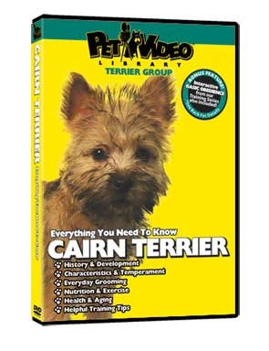 everything you should know cairn terrier