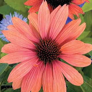 Saavyseeds Sundown Coneflower Seeds - 55 Count