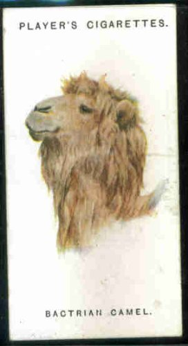 Bactrian Camel 1931 Player Cigarettes Wild Animals' Heads #11 (VG)