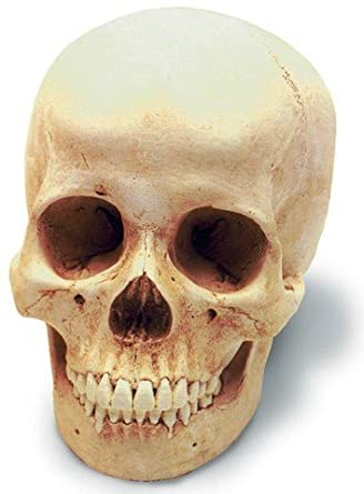 Female Human Skull 3d model - CGStudio  |Female Human Skull