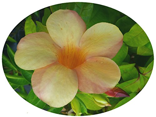 Sunset ALLAMANDA Vine Live Semi-Tropical Plant Rare Unusual Yellow Coral Pink Blushed Trumpet Flower Starter Size 4 Inch Pot Emerald tm