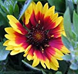 Goblin Blanket Flower - Gaillardia - Live Plant - Quart Pot