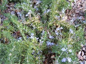 Clovers Garden Trailing Rosemary Herb Plant - Non-GMO - Two (2) Live Plants - Not Seeds - Each 3''-7'' Tall - In 3.5 Inch Pots - Prostrate Creeping Rosemary by Clovers Garden (Image #2)
