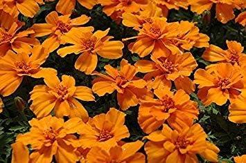 VISA STORE Mari, mandarina Gem, Perfumado, Orange, 150 semillas! Groco: Amazon.es: Jardín