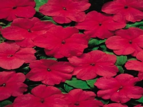 50 Seeds of Impatiens Cascade Beauty Tropical Sunshine (Cascade Sunshine)