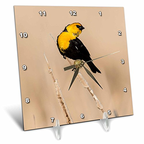 3dRose dc_54971_1 Yellow-Headed Blackbird Xanthocephalus Xanthocephalus Courtship Display on a Common Cattail Desk Clock, 6 by 6-Inch