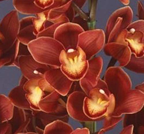 Orchid Insanity - Cymbidium Koushu Mae - Blooms red Maroon Flowers, exceptionally Easy to Grow, Vigorous and Hardy. Compact Grower, Small Footprint. (NOT in Bloom When Shipped)