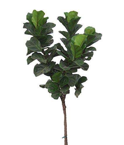 Little Fiddle Fig Standard (Ficus lyrata), 3-4' Tall by Garden Goods Direct