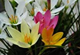 Mix Rain Lily Bulbs -6 Bulbs- Zephyranthes Lovely Flowers Bonsai Blooming Surprise Beneficial Physical Mental Health Amazing Bonsai Scenery