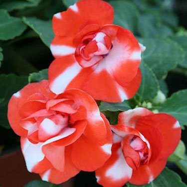 Outsidepride Impatiens Orange Flash