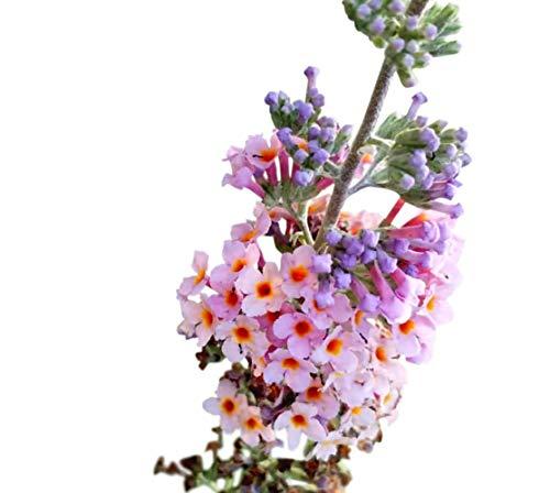 Butterfly Bush Seeds (Buddleia davidii) Kaleidoscope + 1 Free Plant Marker (200)