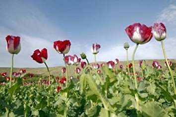 1 Ounce Afghanistan Papaver Somniferum Viable Opium Poppy Seeds
