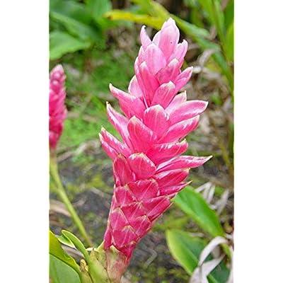 Hawaiian Pink Ginger Roots Alpinia Purpurata1 Package KV1 : Flowering Plants : Garden & Outdoor