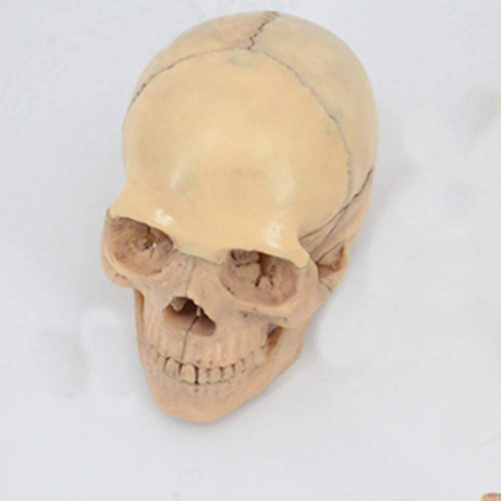 Fossa Includes Full Set of Teeth Molded from a Real Human Skull Scientific research School teaching 13.5x10.5x8cm Plastic Skull Shows Most Major Foramen and Canals