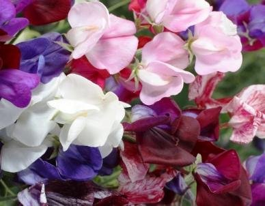 David's Garden Seeds Flower Sweet Pea Old Spice Mix D1324A Heat Tolerant (Multi Color) 100 Heirloom Seeds