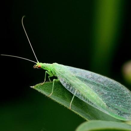 Green Lacewing 50,000 Eggs - Organic Natural Aphid Control by Nature's Good Guys (Image #6)