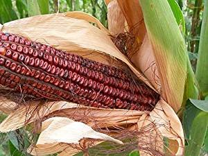 David's Garden Seeds Corn Dent Bloody Butcher SV762R (Red) 100 Heirloom Seeds