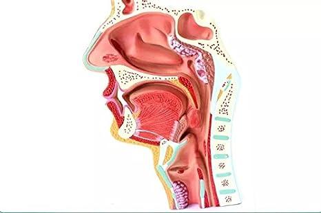 APHRODITE 1:1 Human Anatomical Nasal Cavity Throat Anatomy Medical ...