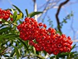 Privick Mill Nursery / Firethorn / Pyracantha Coccinea / 25 seeds / Ornamental Shrub / Hedging / Bonsai / Berries