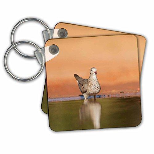 Danita Delimont - Songbirds - Common Ground Dove adult drinking, Rio Grande Valley, Texas - Key Chains - set of 2 Key Chains (kc_279520_1) - Set Rio Grande