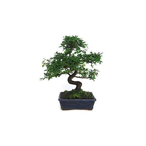 Plantas de interior disfruta de una entrega r pida y el - Bonsai verdecora ...