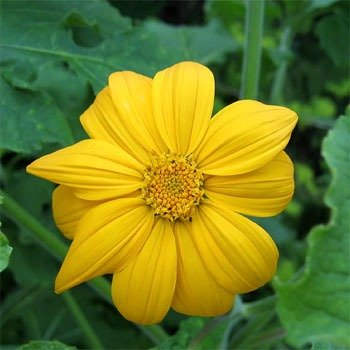 Outsidepride Yellow Tithonia Mexican Sunflower Plant Flower Seed - 500 Seeds (Best Time To Plant Sunflower Seeds)