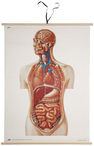 3B Scientific V2008M Torso Anatomical Wall Chart, Mounted, Wooden Rods, Oversize Poster, 33.1