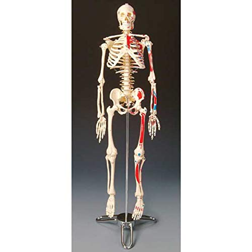 Painted and Numbered Big Tim Skeleton Model CMS65 - Skeleton Muscle