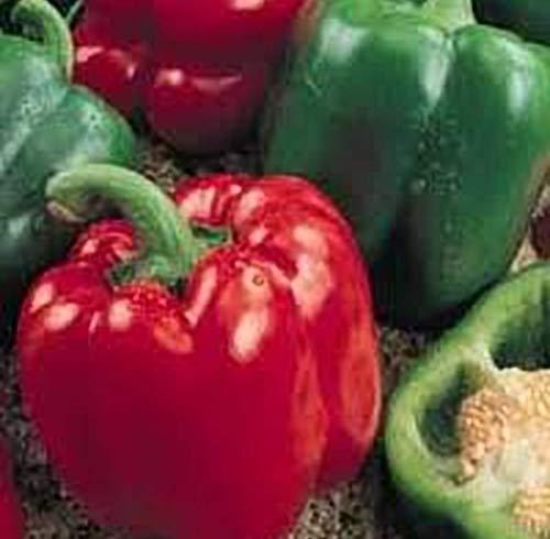Pepper Sweet Yolo Wonder BULK 2,000 Seeds Great Heirloom Vegetable