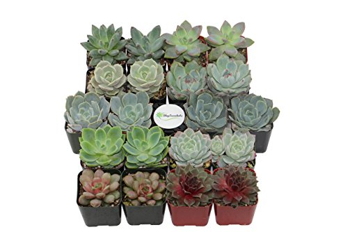 Shop Succulents Rosette Succulent (Collection of (Wedding Shower Favors)