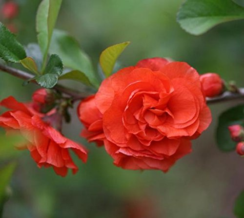 Orange Storm Double Take Flowering Quince - Live Plant - 4 Inch Pot by New Life Nursery & Garden